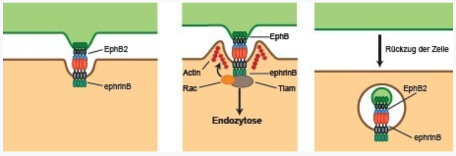 Left: Ephrin and Eph receptors are found on the surface of almost all cells. Center: When cells come into contact with each other, the two proteins form a tight complex. This triggers a signaling chain which causes the cell membrane to protrude. This process is controlled by the Tiam and Rac molecules and results in the reformation of the actin cytoskeleton. Right: The cells separate when one cell fully engulfs the ephrin/Eph complex through endocytosis. © MPI of Neurobiology/Gaitanos
