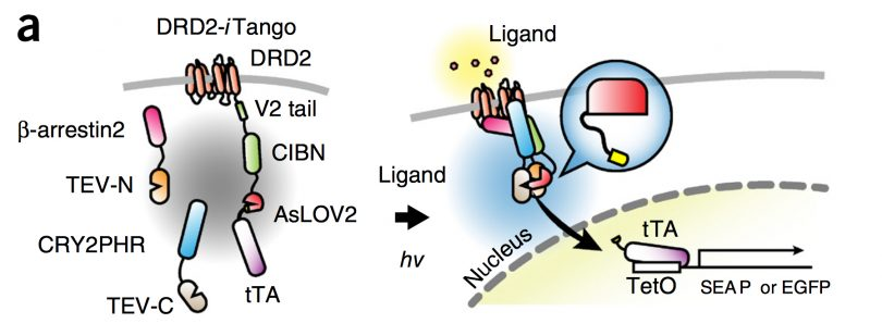 Temporally precise labeling and control of neuromodulatory circuits temporally precise labeling and control of neuromodulatory circuits in the mammalian brain ccuart Images