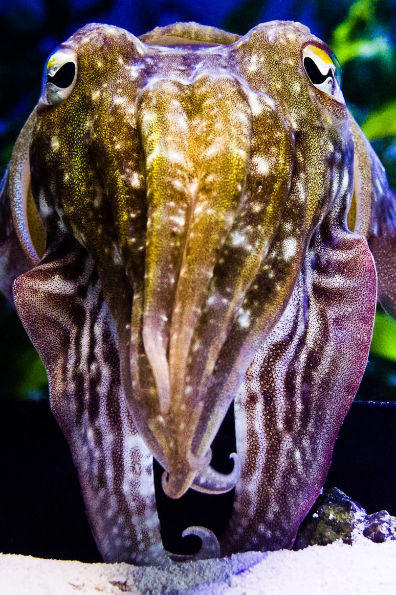 A common cuttlefish, Sepia officinalis. Image by Stephan Junek (Max Planck Institute for Brain Research)