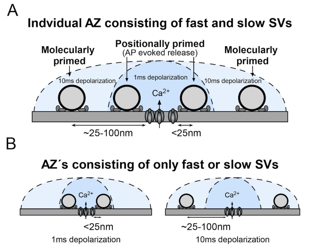 SV distribution within the P16 –P19 calyx RRP. A, B, Schematic diagram showing SVs at different priming states located at different distance to the Ca 2+ source. Only the SVs that locate close to the Ca 2+ source can be released by AP. We propose that either a single AZ contains a mixture of fast and slow SVs (A) or that there are individual AZs within the calyx that contain only fast or only slow pool SVs (B). In both cases, we propose that distal SVs are rapidly converted to fast pool SVs for AP-evoked release to maintain signaling at high firing rates.