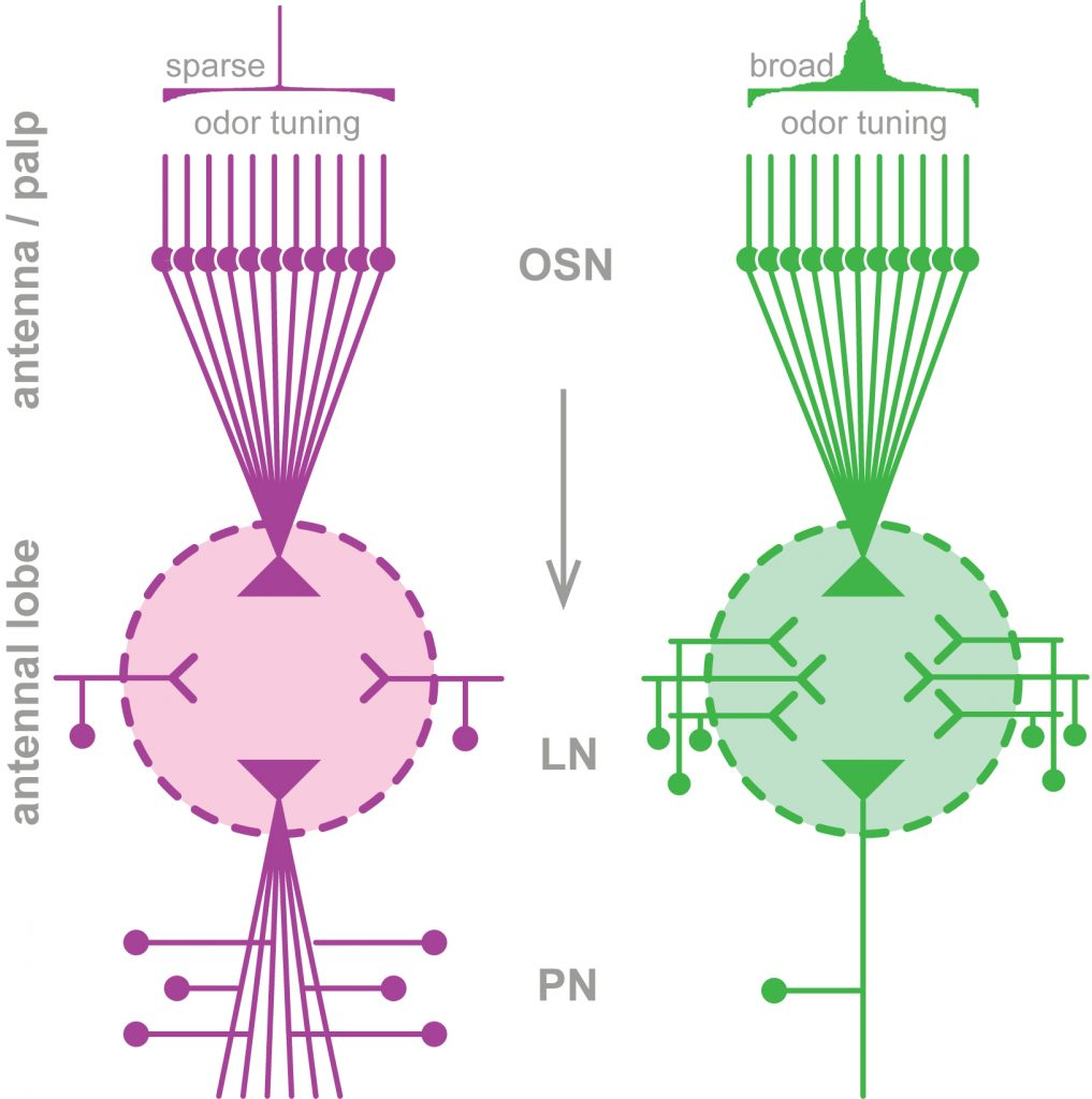Glomerular neuronal architecture reflects functional relevance. Schematic model displaying the neuronal composition of a narrowly-tuned glomerulus (magenta) in comparison to a glomerulus that responds to a broad range of odors (green). Abbreviations: OSN, olfactory sensory neuron; LN, local interneuron; PN, projection neuron. From: Grabe et al., in press, Cell Reports.