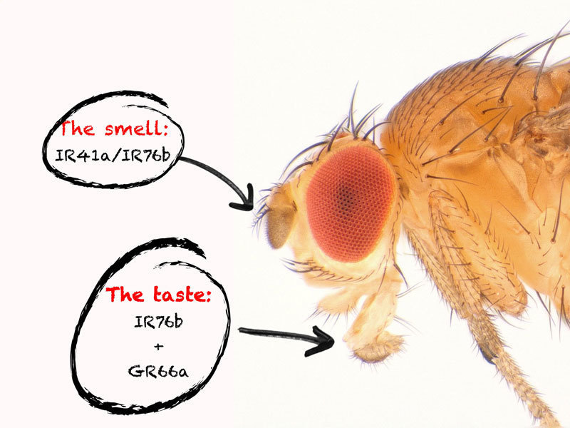 Two receptors each in the smell and taste organs enable the fruit fly to track down vital polyamines in food. © MPI of Neurobiology/Gompel